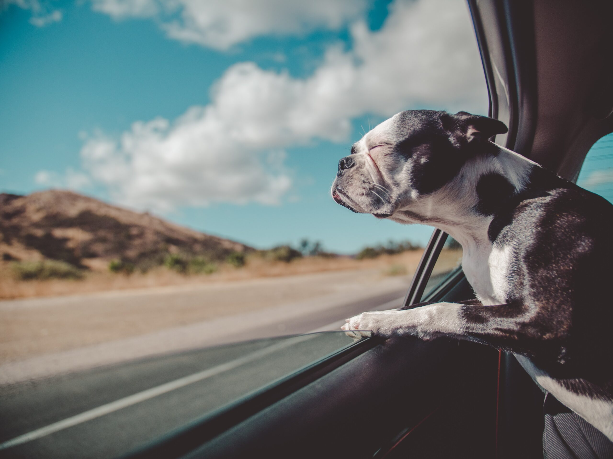 A dog enjoying the breeze out of a car window on a national park road trip.