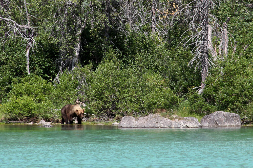 A bear on the shoreline in Lake Clark National Park