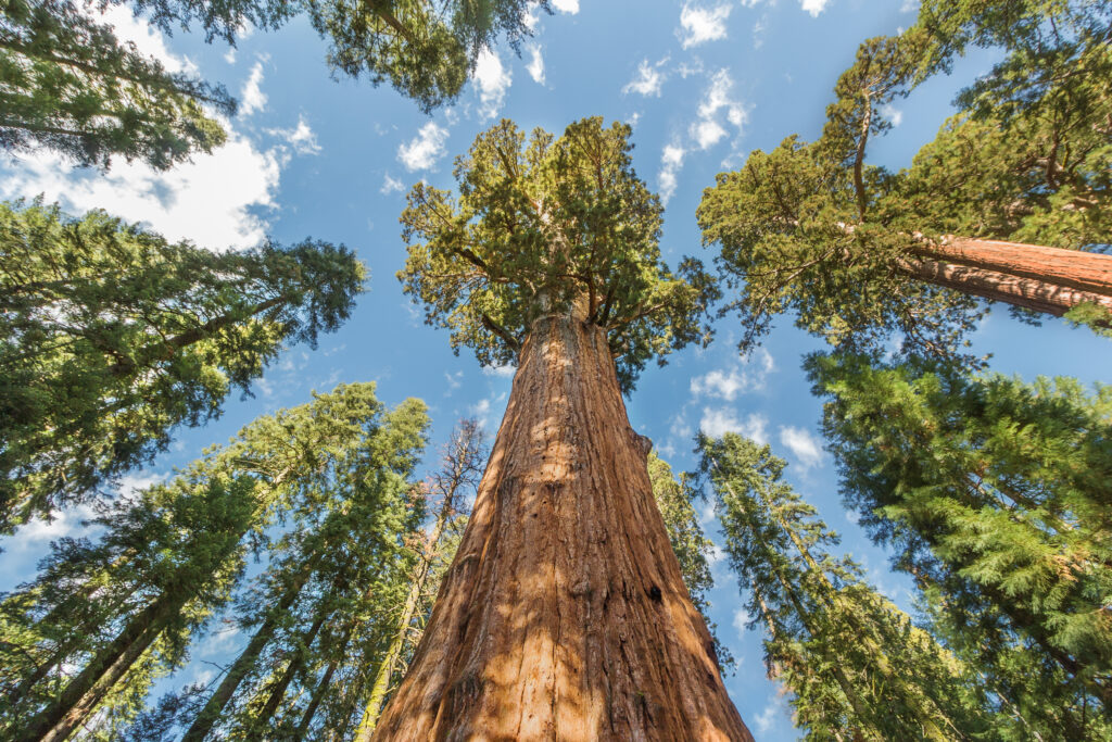 A towering grove of giant trees at Sequoia National Park