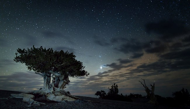 Starlight nigh sky over one of Great Basin's ancient old bristlecone pines
