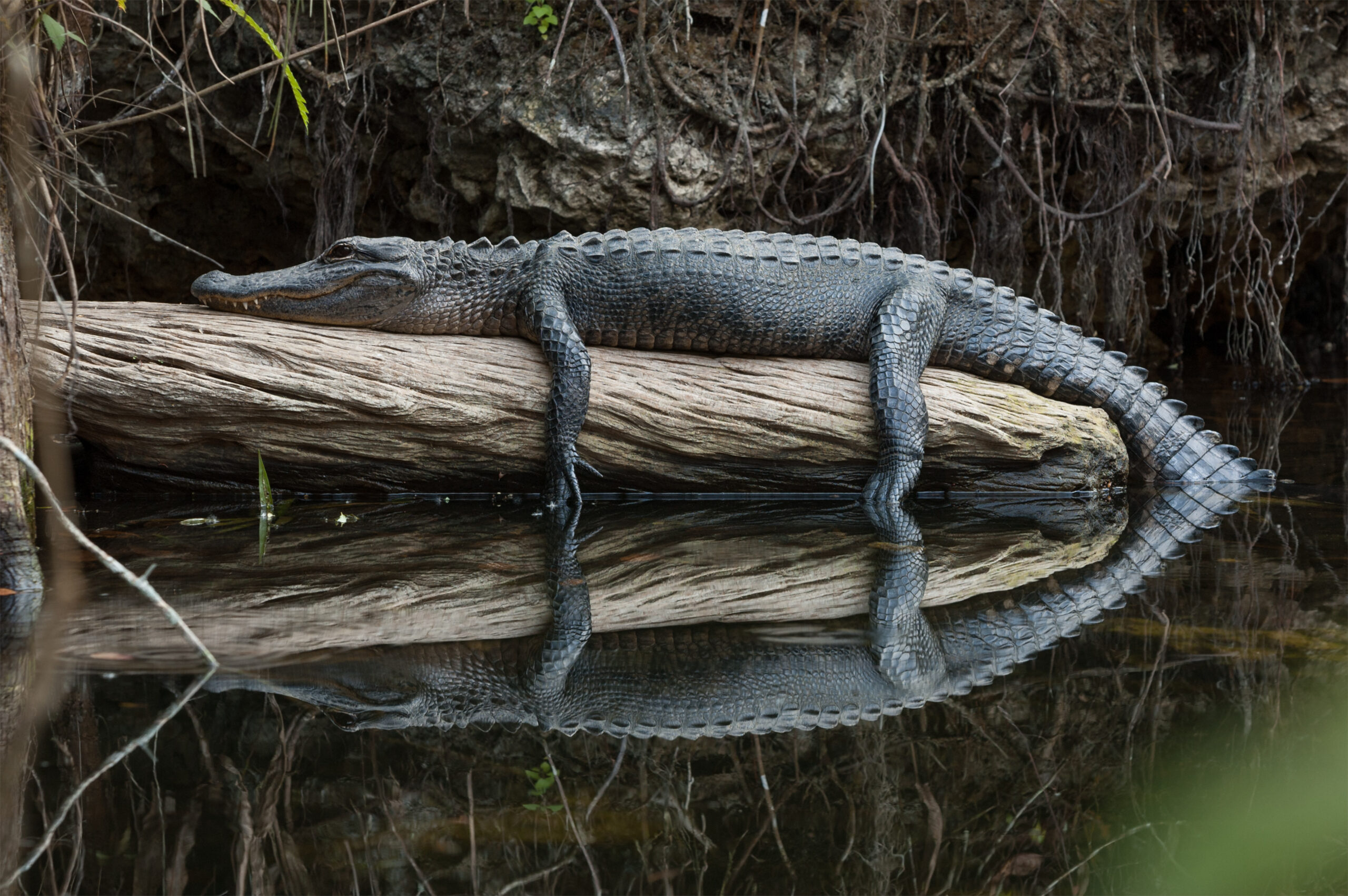 American Crocodile on a log in Everglades National Park, Florida