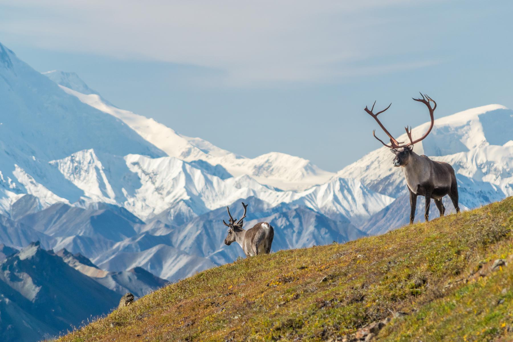 Elk spotting in Denali National Park, Alaska