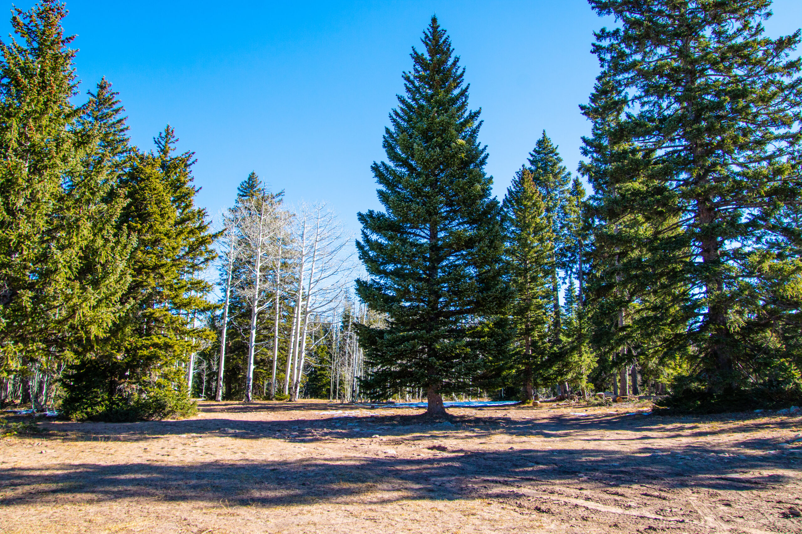 The 82-year-old Engelmann Spruce chosen from Colorado that stands 55 feet tall